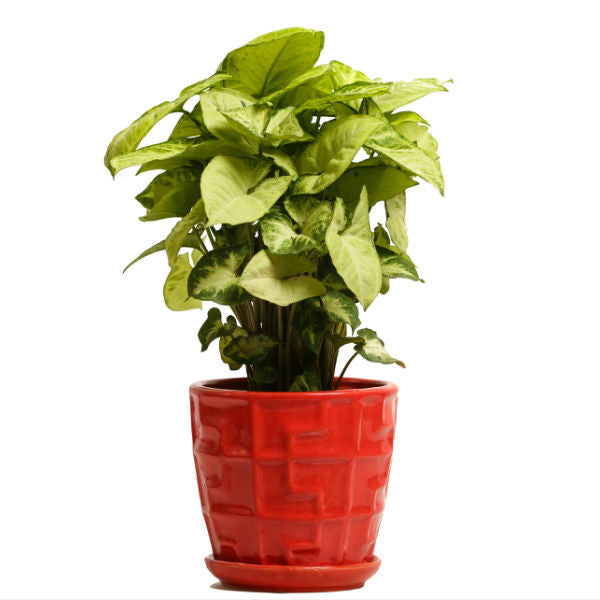 Glossy Red Lime N Lemon Syngonium Plant - Giftingnation