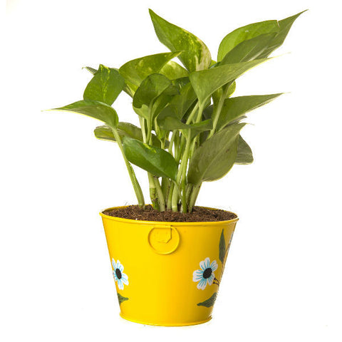 Indoor Hybrid Money Plant in Round Yellow Metal Pot - Giftingnation - 1
