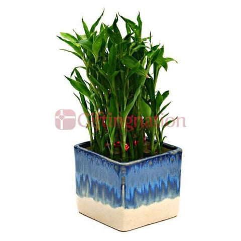 Bamboo Plant with White & Blue Ceramic Pot - Giftingnation