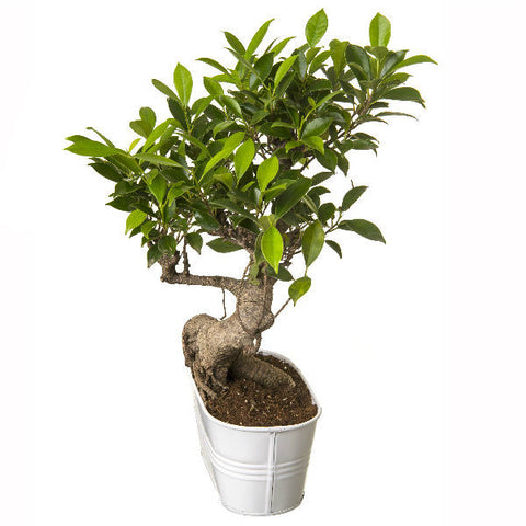 6 Year Old S Shape Bonsai In White Pot - Giftingnation - 2