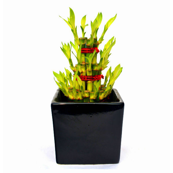 3 Layer Bamboo Plant in Black Ceramic Pot - Giftingnation