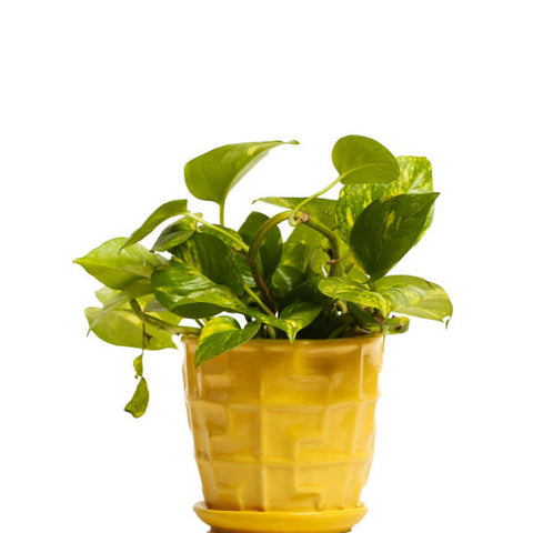 Glossy Yellow Money Plant - Giftingnation