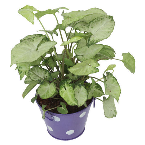 Indoor Plant Hybrid Green Syngonium in Round Purple Metal Pot - Giftingnation - 1