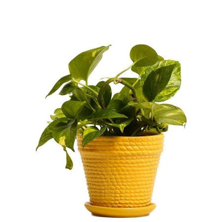 Sizzling Yellow Money Plant - Giftingnation