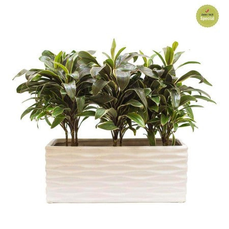 Snowy Tray Cordyline Plant - Giftingnation
