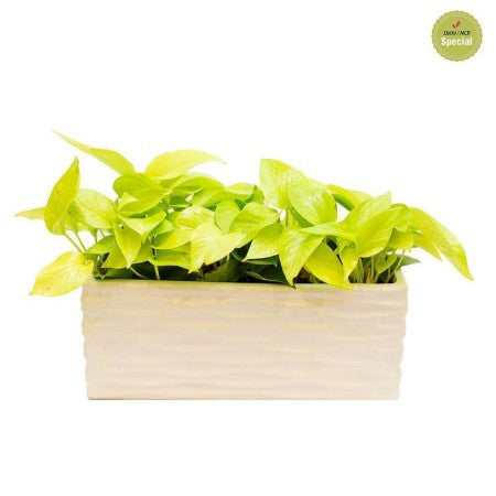 Snowy Tray Golden Pothos Plant - Giftingnation