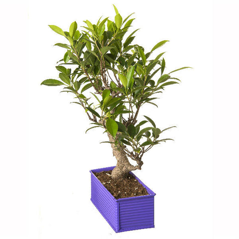 6 Year Old S Shape Ficus Bonsai Tree in Purple Pot - Giftingnation - 1