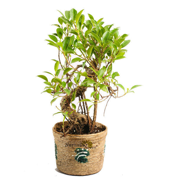 Unpollute Caramel S Shaped Ficus Bonsai Plant - Giftingnation
