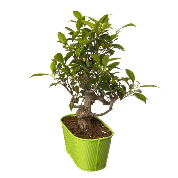 6 Year Old S Shape Bonsai In Green Pot - Giftingnation - 1