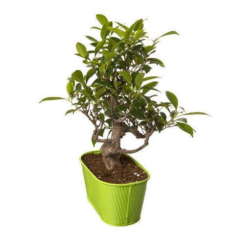 Bonsai from Exotic Green