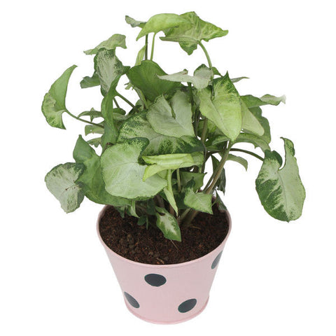 Indoor Plant Hybrid Green Syngonium in Round Light Pink Metal Pot - Giftingnation - 2