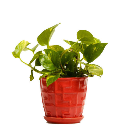 Glossy Red Money Plant - Giftingnation