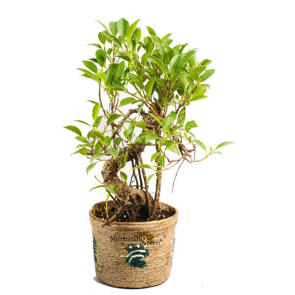 S Shape Ficus Bonsai Tree 3 Year Old in Jute Pot - Giftingnation