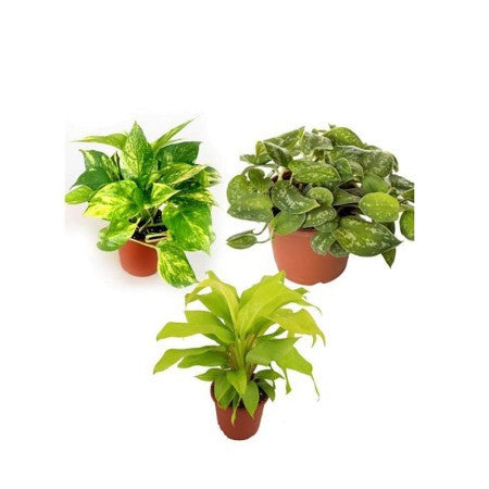 Triple Love - Money Plant, Silver Scindapasus, Philodendron Plants - Giftingnation