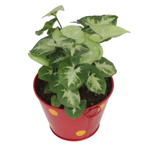Indoor Plant Hybrid Green Syngonium in Round Red Metal Pot - Giftingnation - 2
