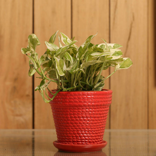 Sizzling Red White Pothos Plant - Giftingnation