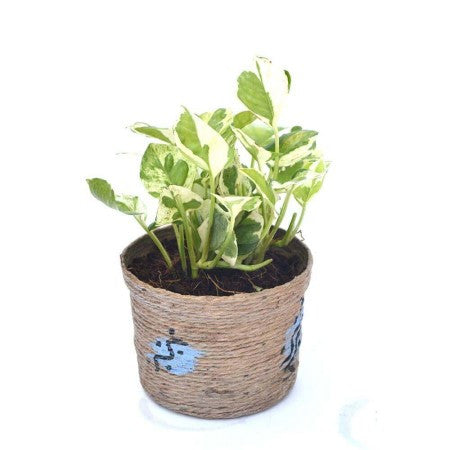Unpollute White Pothos Indoor Plant - Giftingnation