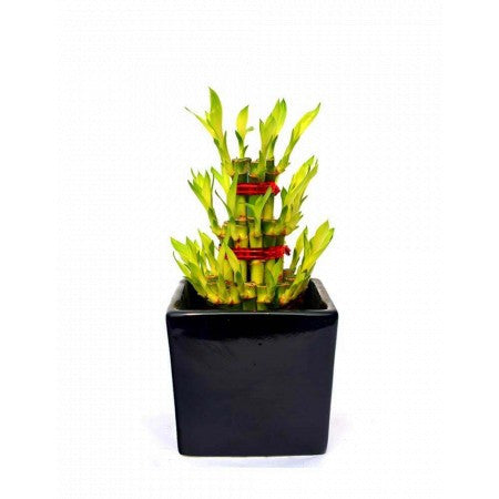 Unpollute Fearless Black Lucky Bamboo Plant - Giftingnation