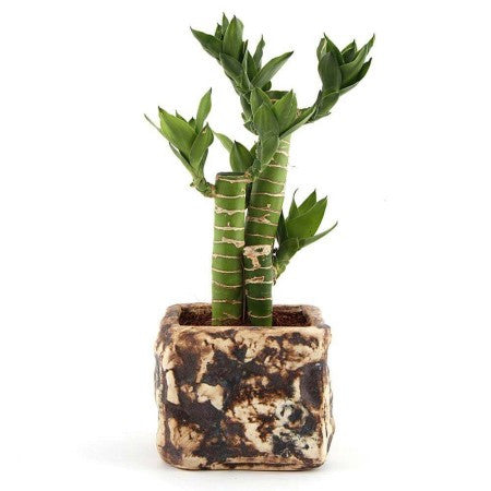 Unpollute Stone Cutleaf Lucky Bamboo Plant - Giftingnation