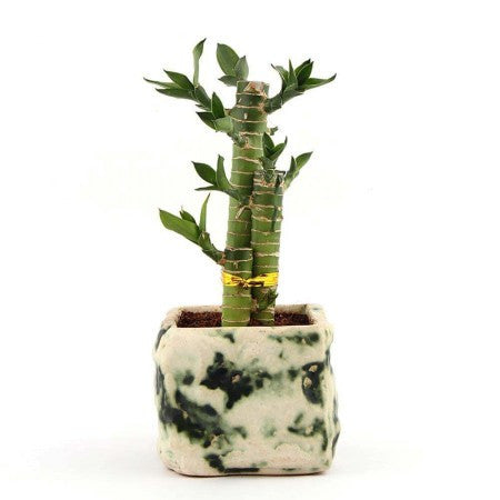 Unpollute Stone Cutleaf Lucky Bamboo Plant Green - Giftingnation