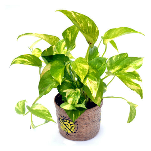Indoor Money Plant Hybrid with Jute Pot - Giftingnation