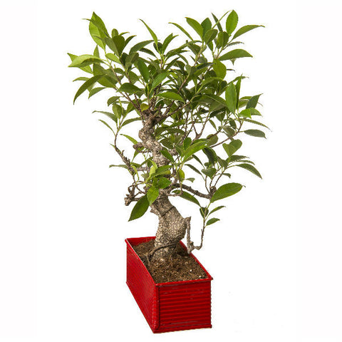 6 Year Old S Shape Bonsai In Red Pot - Giftingnation - 1