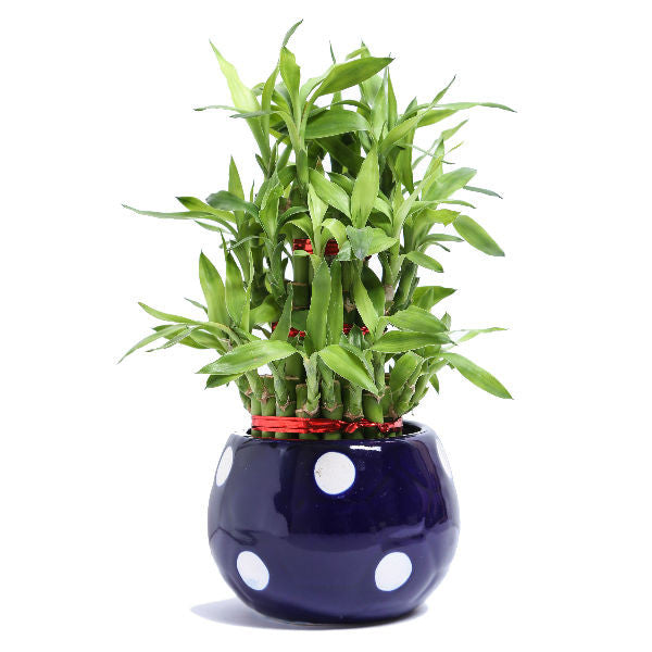 Lucky Bamboo 3 layer Plant with Blue Polka Ceramic Pot - Giftingnation