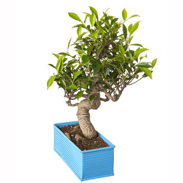 6 Year Old S Shape Ficus Bonsai In Blue Pot - Giftingnation - 1