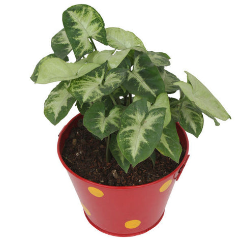 Indoor Plant Hybrid Green Syngonium in Round Red Metal Pot - Giftingnation - 1