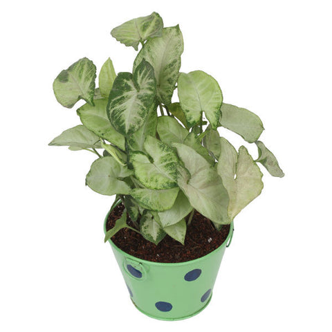 Indoor Plant Hybrid Green Syngonium in Round Green Metal Pot - Giftingnation - 2