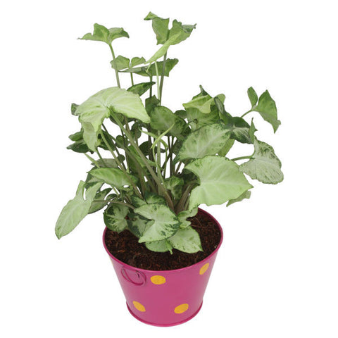 Indoor Plant Hybrid Green Syngonium in Round Pink Metal Pot - Giftingnation - 1