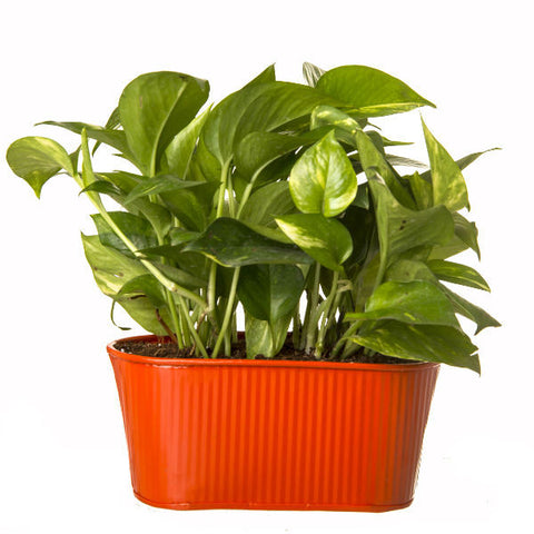 Indoor Hybrid Money Plant in Oval Orange Metal Pot - Giftingnation - 2