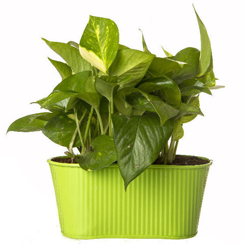 Indoor Hybrid Money Plant in Oval Green Metal Pot - Giftingnation - 2