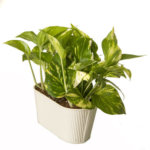 Indoor Hybrid Money Plant in Oval White Metal Pot - Giftingnation - 2