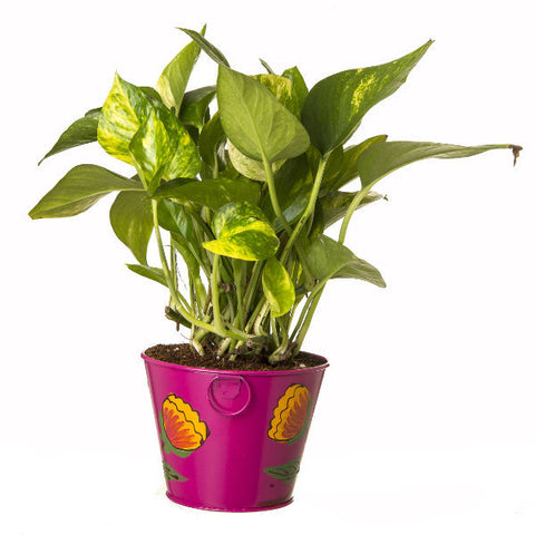Indoor Hybrid Money Plant in Round Pink Metal Pot - Giftingnation - 2