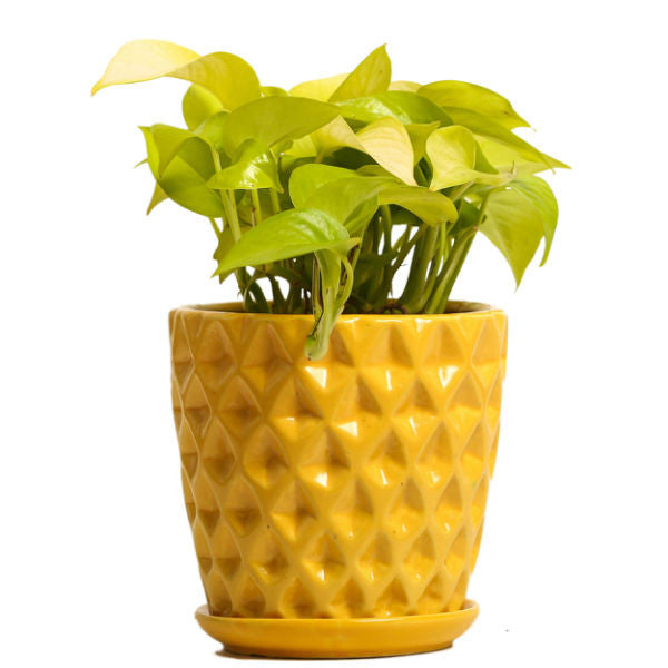 Spotted Yellow Golden Pothos Plant - Giftingnation