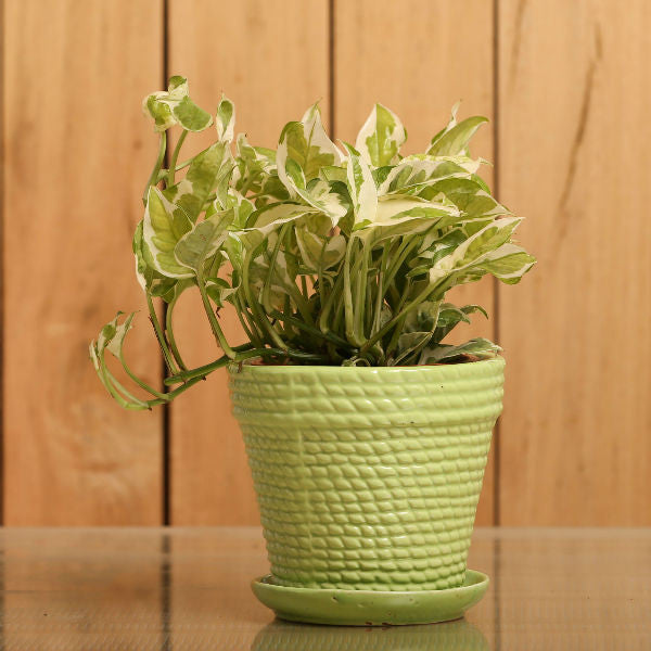 Sizzling Green White Pothos Plant - Giftingnation