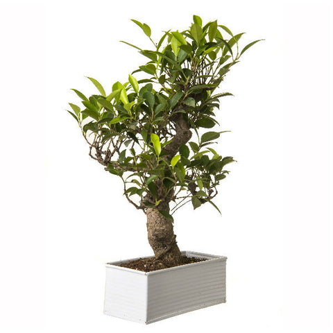 6 Year Old S Shape Ficus Bonsai Tree in White Pot - Giftingnation - 2