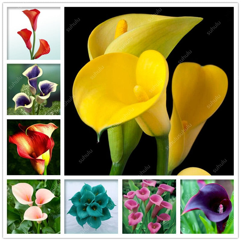 100 pcs Calla Lily bonsai Imported From Holland,  Lily plants, Rare Plants Flowers for Home Gardening