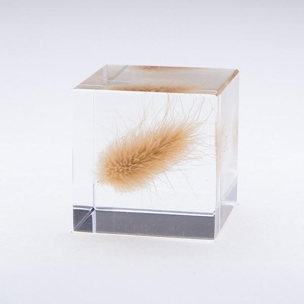 SOLA CUBE - BUNNY TAIL GRASS - FEVERGUY