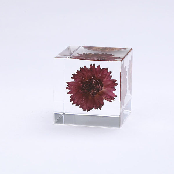 SOLA CUBE - STRAWFLOWER - FEVERGUY