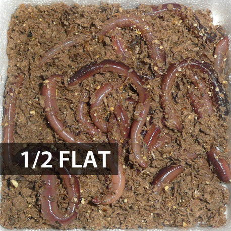 Picture of 1/2 Flat (Approx. 250) Small/Trout Dew Worms
