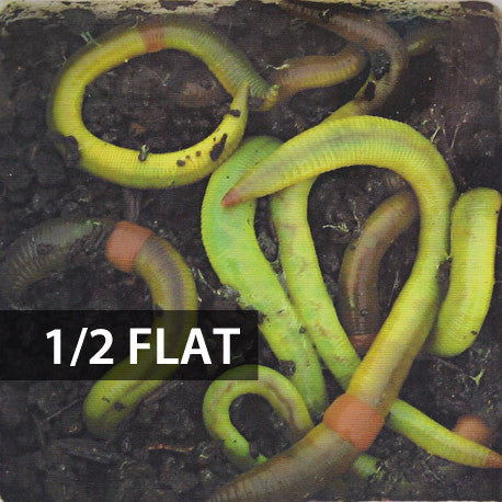 Picture of 1/2 Flat (Approx. 250) Large Green Dew Worms