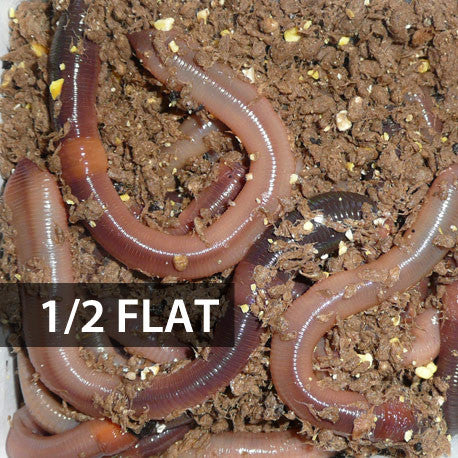 Picture of 1/2 Flat (Approx. 250) Large Dew Worms