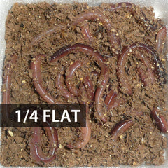 1/4 Flat (Approx. 125) Small/Trout Dew Worms