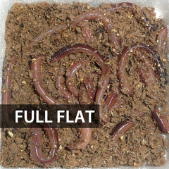 1 Flat (Approx. 500) Small/Trout Dew Worms