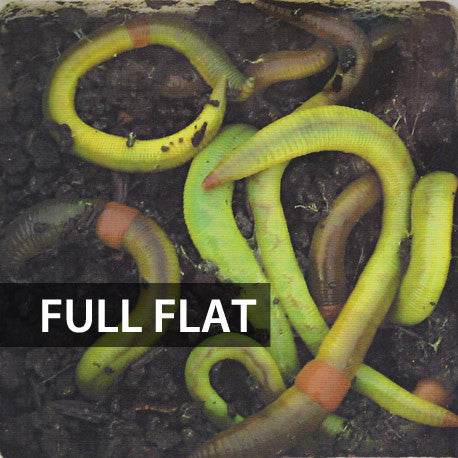 Picture of 1 Flat (Approx. 500) Large Green Dew Worms