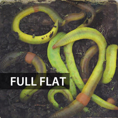 1 Flat (Approx. 500) Large Green Dew Worms