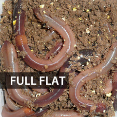 1 Flat (Approx. 500) Large Dew Worms