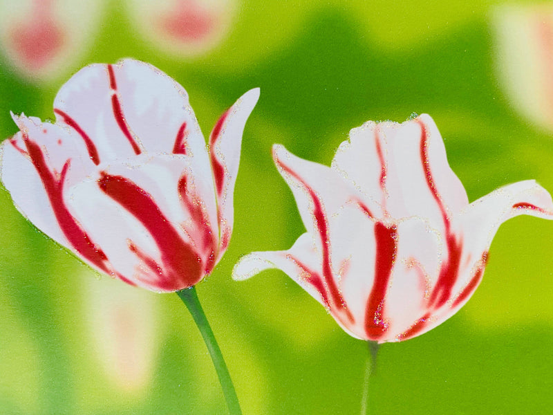 Pink and White Tulip Flower, Everyday Card